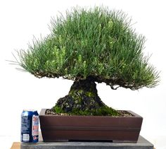 "Japanese Black Pine - 17"" Tall Bonsai"