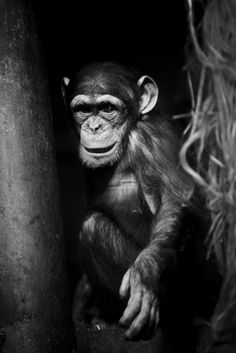 Going chimp crazy