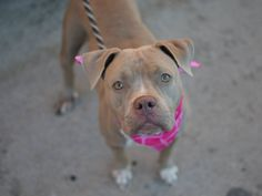 SAFE 12/29/14 --- Brooklyn Center   MISTY - A1023653   FEMALE, BROWN / WHITE, AMER BULLDOG MIX, 2 yrs STRAY - STRAY WAIT, NO HOLD Reason STRAY  Intake condition EXAM REQ Intake Date 12/20/2014, From NY 11434, DueOut Date 12/23/2014 https://www.facebook.com/photo.php?fbid=930024513677095