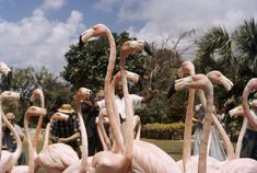 A trainer controls a flock of trained flamingos for photo opportunities in Nassau, Bahama Islands, November 1957.Photograph by B. Anthony Stewart, National Geographic