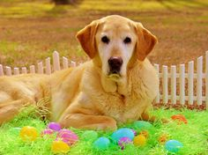 LAB  fan's Easter Labradors – Its a Lab Thing my friend's lab. Beautiful dog!