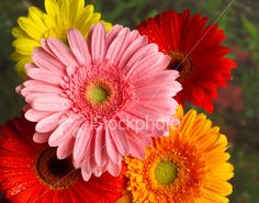 Colorful Gerber daisies Royalty Free Stock Photo