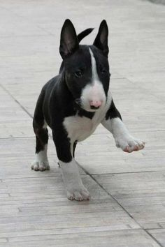 Bull Terrier pup. Don't see them much but would love one! by daniela.pichierri