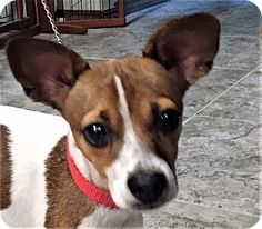 Allentown, PA - Rat Terrier/Jack Russell Terrier Mix. Meet Sadie, a dog for adoption. http://www.adoptapet.com/pet/18654134-allentown-pennsylvania-rat-terrier-mix