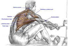Muscles used in the seated row