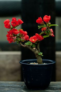 Awesome Camelia Bonsai