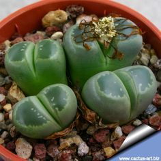 Love Lithops! They are so cute!