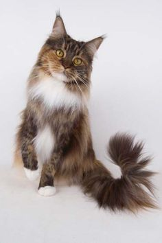 Maine Coons are beautiful
