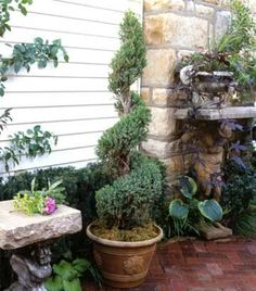 Next project: make 2 spiral evergreen topiaries to welcome visitors at the front door.