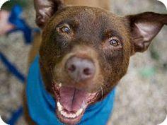 CHOCO - URGENT SENIOR ALERT - Austin Animal Center in Austin, TX - ADOPT OR FOSTER - Senior Neutered Male Labrador Retriever/Pit Bull Terrier Mix