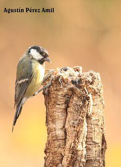 gluttonous birds