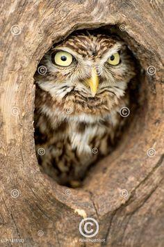 Sýček obecný v dutině stromu. Little owl peering out of hole in tree. Little Owl, Bird Pictures, Needle Felting, Birds, Outdoor, Animaux, Outdoors, Bird, Outdoor Games