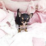 Perfect apple head baby chi girl available. She is an exquisite purse baby!  Contact us for more info. #luxpup #luxpups #chihuahua #chihuahuasofinstagram  #puppies #puppiesforsale #cutepuppies #teacuppuppies #teacupchihuahua #microchihuahua #petstagram #p by LuxPup