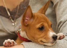 Basenji puppy face