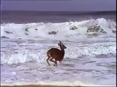 Animated Photo - Deer Frolicking In The Ocean.