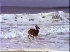 Animated Photo - Deer Frolicking In The Ocean.