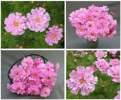 Renee's Garden Seeds: Renee's Blog: Seed of the Month: Double Cosmos 'Rose Bon Bon'