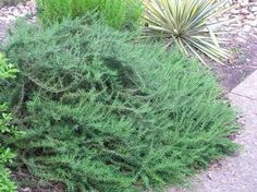 Not sure you can pick a better plant than Huntington Carpet Rosemary. It's edible, deer resistant, waterwise, low maintenance, fast growing, fragrant, and even attracts birds and butterflies.