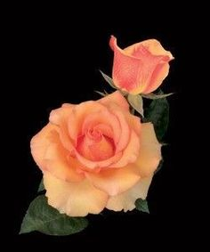 """Sunstruck: Enormous round petals of apricot gold with a patterned yellow reverse adorn this new hybrid tea rose from Weeks Roses hybridizer Tom Carruth. A moderately fruity fragrance comes from each regal bloom. Bloom 5"""", petals 30"""