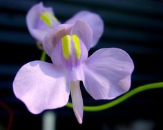 Utricularia nelumbifolia - List of Utricularia species - Wikipedia
