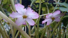 Hardy Begonia blooms