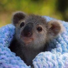 Meet Elsa the koala joey ❄️🐨 - baby animals Cute Little Animals, Cute Funny Animals, Cute Dogs, Adorable Baby Animals, Cute Baby Sloths, Baby Otters, Cute Animal Videos, Cute Animal Pictures, Gif Mignon
