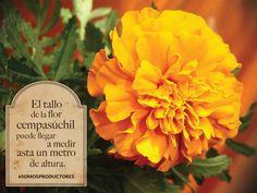 El tallo de la flor cempasúchil puede llegar a medir hasta un metro de altura. SAGARPA SAGARPAMX #SomosProductores