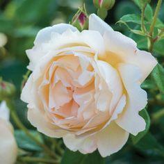 Englische Rosen 'Wollerton Old Hall' Ausblank - David Austin- / Englische Rosen - Rosen - Gartenpflanzen online kaufen & bestellen