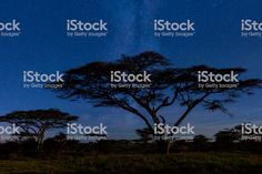 Plains at night and leopard resting on a tree in Serengeti National Park, Tanzania.