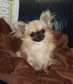 Long Coat Chihuahua~so cute ~