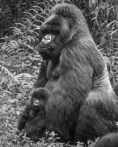 A majestic male Gorilla and his young baby. Gorillas are vegetarians and live in family groups.