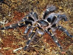 Chaco Golden Knee Tarantula Pretty Tarantula:) Love the colors on these ones