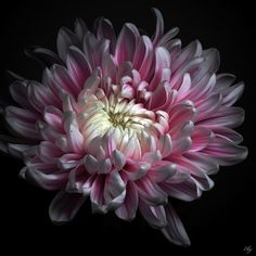 Fine Art Photography Flowers | Pink Dhalia Photograph