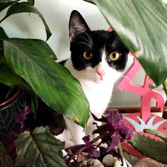 This cat is obsessed with my plants. OBSESSED I tell you. Keeps digging in the dirt and is unstoppable. I tried a spray with essential oils that cats supposedly dont like its not working  Any tips? #catsofinstagram #brucethecat #catsinplants
