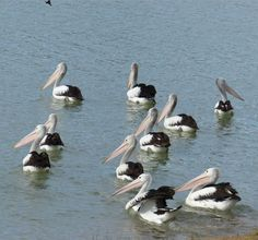 Pelicans wintering on the River Murray at Morgan 2014