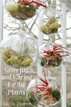 Wonderful guide for growing and caring for air plants plus some fabulous displays