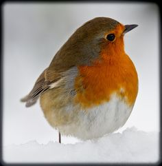 I never understood why people love robins so much in children's books - until I started seeing photos of European robins. That explains a lot. They're adorable!
