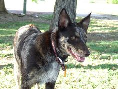 Koolie Dog, Belgian Malinois Dog, Rare Dog Breeds, Cattle Dogs, Rough Collie, Lurcher, Sheltie, Beautiful Dogs, Animal Pictures
