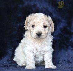 #PoodleMix #Charming #PinterestPuppies #PuppiesOfPinterest #Puppy #Puppies #Pups #Pup #Funloving #Sweet #PuppyLove #Cute #Cuddly #Adorable #ForTheLoveOfADog #MansBestFriend #Animals #Dog #Pet #Pets #ChildrenFriendly #PuppyandChildren #ChildandPuppy #LancasterPuppies www.LancasterPuppies.com Poodle Mix Puppies, Mini Poodles, Lancaster Puppies, Animals Dog, Coming Home, Puppies For Sale, Mans Best Friend, Border Collie, Puppy Love