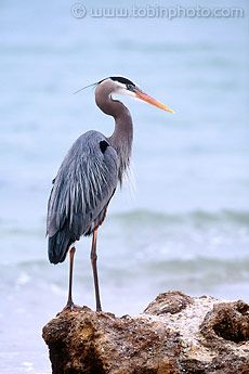 Whether I see the Great Blue Heron stalking fish at the water's edge, hunching up to rest on a dock, or flying high with its long legs stretched out behind it, I am enchanted with this elegant bird.