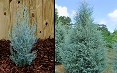 Blue Ice Arizona Cypress is one of the most eye-catching plants in our nursery, and in our gardens. It grows exceptionally fast to about 20 to 30 feet in height with a spread of about 10 to 15 feet at maturity.