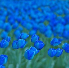 blue - (sorry to have missed GOING to the tulip fields last week in netherlands)