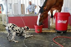Budweiser Clydesdale & Dalmatian, this just makes me smile! Big Horses, Horses And Dogs, Horse Love, Animals And Pets, Dogs And Puppies, Baby Animals, Most Beautiful Horses, Animals Beautiful, Majestic Animals
