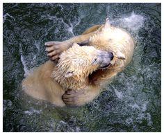 Eisbären...