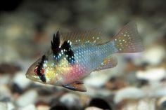 Mikrogeophagus ramirezi - Butterfly Cichlid