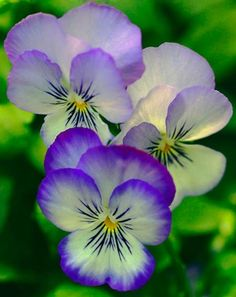 Pansy or pansies