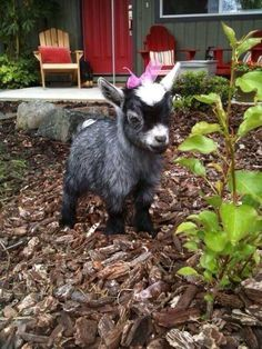 Baby goat with a pink bow
