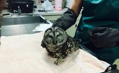 """""""Dead"""" Owl Surprises Rescuer and Returns to Flight in Night Air http://www.care2.com/causes/dead-owl-surprises-rescuer-and-returns-to-flight-in-night-air.html"""