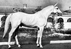 Жеребец Символ терской породы, рожд. 1948 г., от Марокко и Царапки. Чемпион породы на ВДНХ