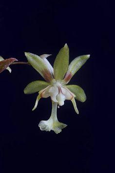 ORCHID -Sigmatostalix uncinata